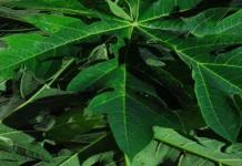 Manfaat Getah Pepaya Dalam Menghilangkan Jerawat