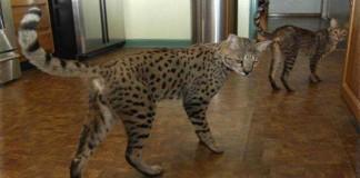 Menakjubkan, Kucing ini Berharga Ratusan Juta
