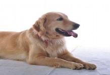 Mencium Anjing Membuat Usus Tetap Sehat