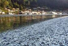 Mengejutkan, Ribuan Ikan Sarden Terdampar