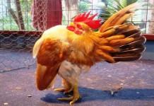 Mengenal Ayam Serama