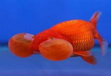 Mengenal Ikan Mas Koki Teleskop