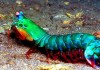 Mengenal Mantis Shrimp