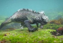 Mengenal Marine Iguana