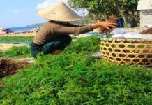 Minimnya Rumput Laut di Industri Pangan RI