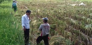 Presiden Jokowi Panen Bawang Bersama Petani
