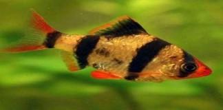 Tips Budidaya Ikan Sumatra