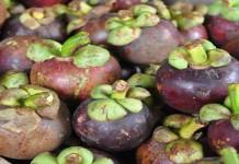 Tips Merawat Tanaman Manggis