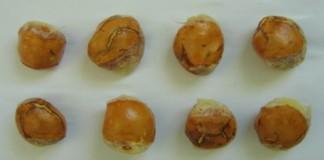 Wow, Biji Durian dapat Diolah Menjadi Bioplastik