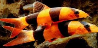 Yuk Budidaya Ikan Botia