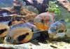 Yuk, Kenalan dengan Ikan Uaru