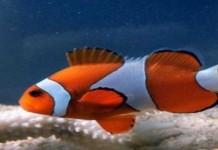 BPBL Ambon Budidayakan Ikan Badut