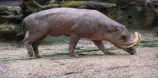 Babirusa, Hewan Unik Asal Sulawesi Berkepala Babi Berkaki Rusa