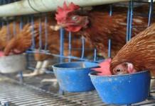Kementan Atasi Flu Burung dengan Mengganti Unggas Peternak