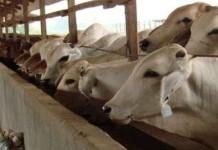 Kementerian Pertanian Genjot Produksi Sapi