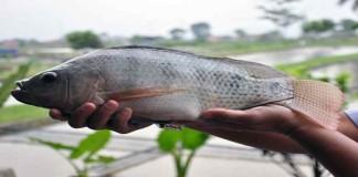 Melihat Keunggulan Ikan Nila Sultana