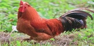 Mengenal Ayam Arab