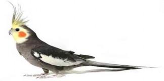 Mengenal Burung Cockatiel