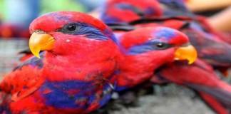 Mengenal Burung Nuri Telinga Biru