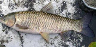 Mengenal Grass Carp, Si Ikan Vegetarian