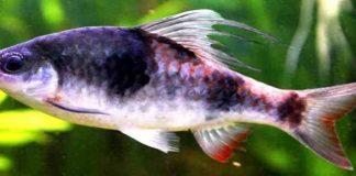 Mengenal Ikan Tambraparni Barb