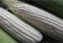 Mengenal Jagung Ketan