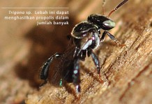 Mengenal Serangga Penghasil Propolis
