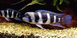 Pesona Ikan Hias Cyphotilapia frontosa