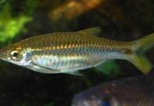 Prospek Bisnik Budidaya Ikan Seluang