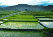 Ratusan Hektar Lahan Pertanian di Jambi Diasuransikan