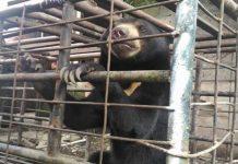 Seorang Warga di Sumatera Barat Pelihara Beruang Madu