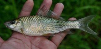 Tips Budidaya Ikan Nilem Balita
