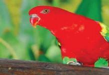 Tips Merawat Burung Kasturi Ternate