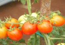 Tomat dapat Menghalau Kanker Ganas