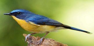 Yuk Kenalan dengan Burung Tledekan