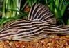 Yuk Mengenal Ikan Royal Pleco