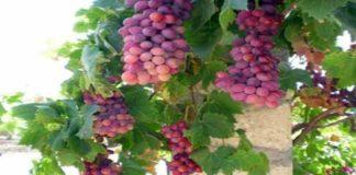 Mengenal Asal-Usul Anggur