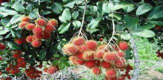 Mempelajari Cara Memperbanyak Tanaman Rambutan