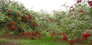 Membudidayakan Tanaman Rambutan