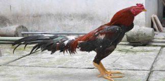 Panduan Praktis Ternak Ayam Bangkok Untuk Pemula