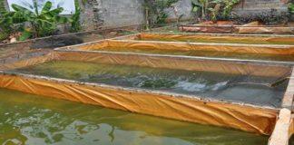 Budi Daya Ikan Koi Peluang Usaha yang Tak Pernah Sepi