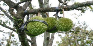 Budidaya Durian itu Mudah