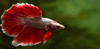Budidaya Ikan Cupang Sangat Mudah, Anda Tertarik