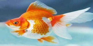 Cara Budidaya Ikan Mas Koki
