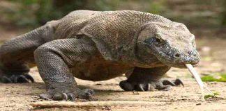 Komodo, Hewan Menakjubkan Asal Timur Indonesia