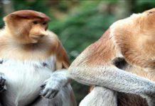 Mengenal Bekantan, Satwa Asal Kalimantan yang Jadi Maskot Dufan