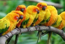 Mengenal Burung Sun Conure