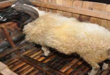Mengenal Jenis Domba yang dapat Dibudidayakan