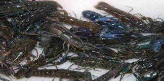 Menggiurkan Usaha Budidaya Lobster