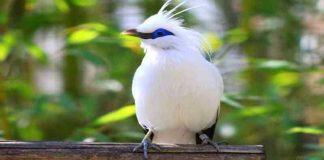 Miris Kicau Sedih Burung Jalak Bali, Burung Asli Indonesia yang Terancam Punah